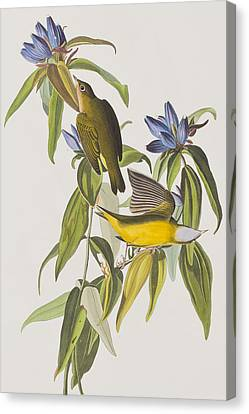 Ct Canvas Print - Connecticut Warbler by John James Audubon