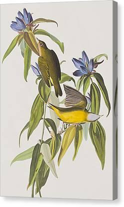 Warbler Canvas Print - Connecticut Warbler by John James Audubon