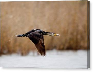 Cormorant In Flight Canvas Print