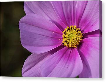 Canvas Print featuring the photograph Cosmos by Elvira Butler