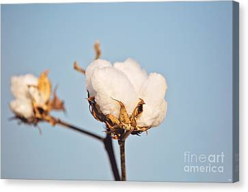 Cotton Boll Canvas Print by Scott Pellegrin