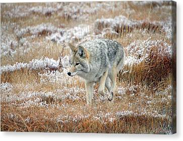Coyote  In Yellowstone National Park Canvas Print by Pierre Leclerc Photography