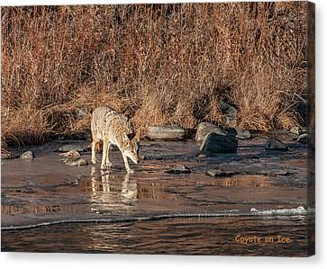 Canvas Print featuring the photograph Coyote On Ice by Britt Runyon
