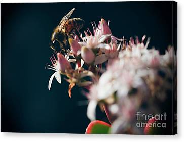 Canvas Print featuring the photograph Crassula Ovata Flowers And Honey Bee  by Sharon Mau