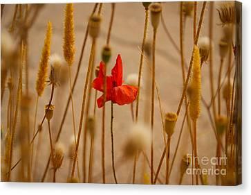Cretan Flower  Canvas Print by David Warrington