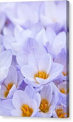 Crocus Flowers Canvas Print by Elena Elisseeva