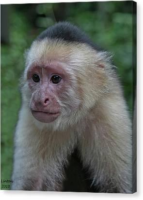 Curious Capuchin Canvas Print by Larry Linton