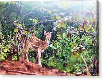 Curious Deer Canvas Print by Chandima Weeratunga