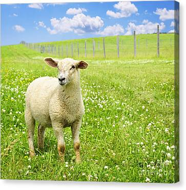 Farm Animal Canvas Print - Cute Young Sheep by Elena Elisseeva