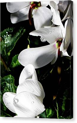 Canvas Print featuring the photograph Cyclamen by Mindy Newman