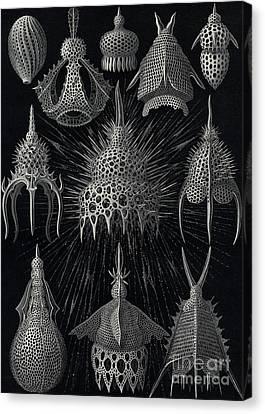 Cyrtoidea Canvas Print by Ernst Haeckel
