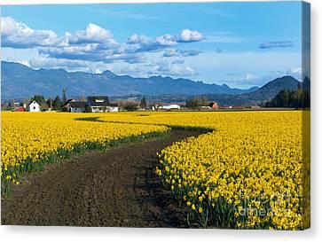 Daffodil Lane Canvas Print by Mike Dawson