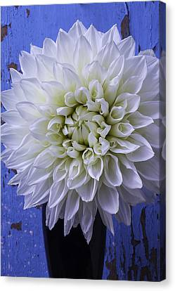 Large White Flower Canvas Print - Dahlia Against Blue Wall by Garry Gay
