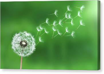 Dandelion Seeds Canvas Print by Bess Hamiti