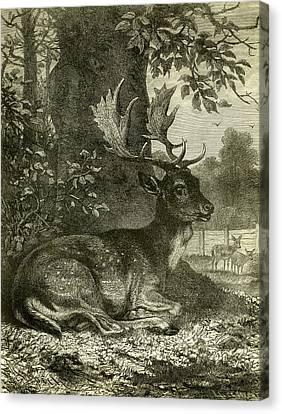 Deer Canvas Print by Austrian School