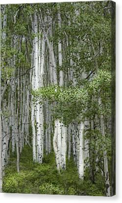 Delicate Aspens. Colorado Canvas Print by George Robinson