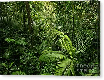 Dense Tropical Rain Forest Canvas Print by Matt Tilghman