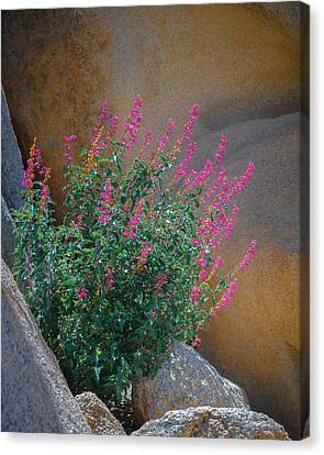 Valley Of The Moon Canvas Print - Desert Lupine by Joseph Smith