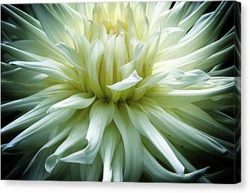 Large White Flower Canvas Print - Divine Dahlia by Jessica Jenney