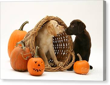 Dogs In Basket With Pumpkins Canvas Print
