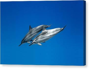 Dolphin Pair Canvas Print by Sean Davey
