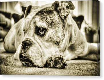 Bulldogs Canvas Print - Dozer by Andrew Kubica