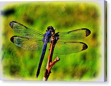 Dragonfly Blues Canvas Print by Olahs Photography