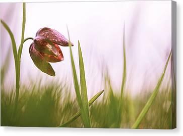 Snakes Head Fritillary Canvas Print - drooping Tulip a meadow springflower by Dirk Ercken
