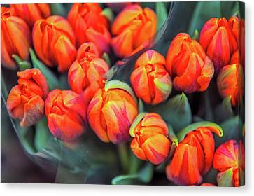 Dutch Orange Tulips Canvas Print