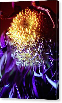 Dying Purple Chrysanthemum Flower Background Canvas Print by John Williams