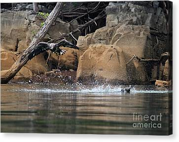 Canvas Print featuring the photograph Eagle Attack II by Douglas Stucky