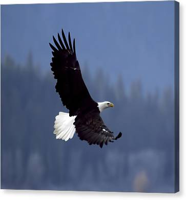 Eagle In Flight Canvas Print by Clarence Alford
