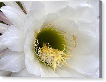 Canvas Print featuring the photograph Easter Lily Cactus by Phyllis Denton