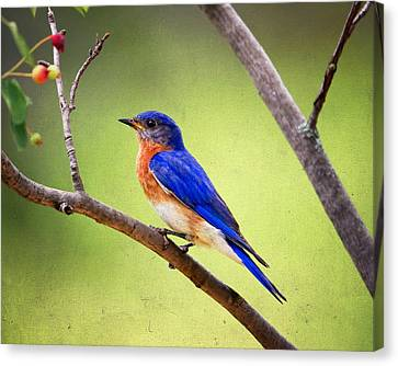 Eastern Bluebird Canvas Print by Al  Mueller