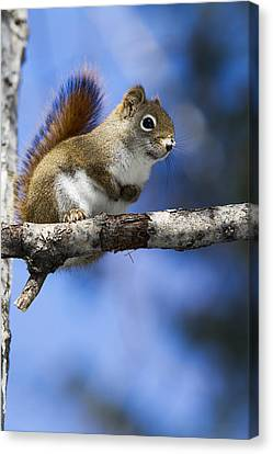 Eastern Grey Squirrel  Sciurus Canvas Print by Philippe Henry