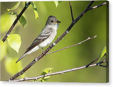 Eastern Wood Pewee Flycatcher Canvas Print by Birds Only
