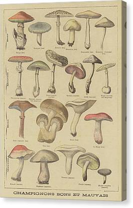 Toadstools Canvas Print - Edible And Poisonous Mushrooms by French School