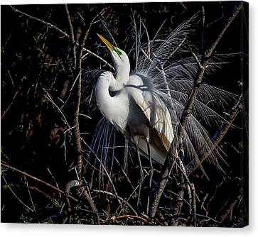 Elegant Egret Canvas Print by Kelly Marquardt