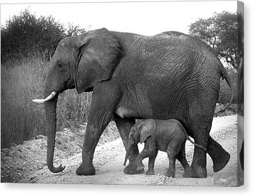 Elephant Walk Black And White  Canvas Print by Joseph G Holland