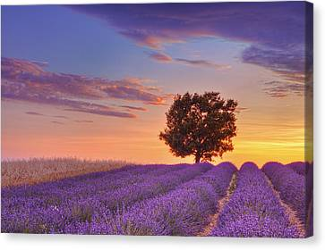 English Lavender Field With Tree At Sunset, Valensole, Valensole Plateau, Alpes-de-haute-provence, Provence-alpes-cote D Azur, Provence, France Canvas Print by Martin Ruegner