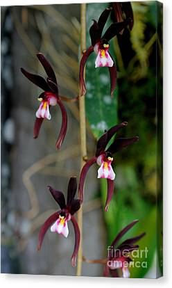 Epiphytic Cymbidium Orchid Canvas Print by Fletcher & Baylis