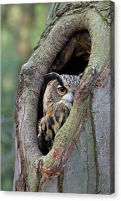 Eurasian Eagle-owl Bubo Bubo Looking Canvas Print by Rob Reijnen