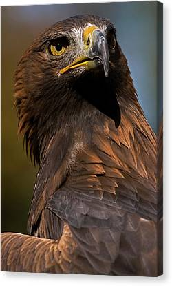 European Golden Eagle Canvas Print