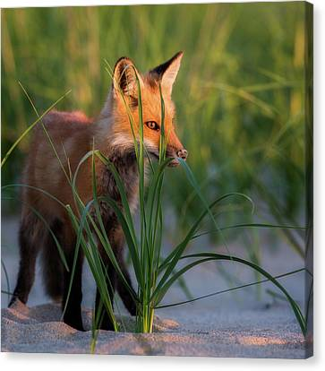 Fox Kit Canvas Print - Eye Of The Fox by Bill Wakeley