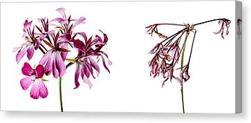 Geranium Canvas Print - Fading Beauty by Nailia Schwarz