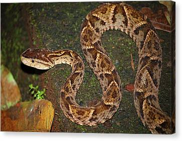 Canvas Print featuring the photograph Fer-de-lance, Bothrops Asper by Breck Bartholomew