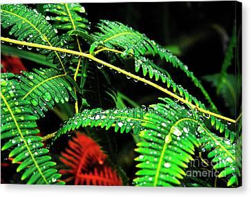 Ferns And Raindrops Canvas Print by Thomas R Fletcher