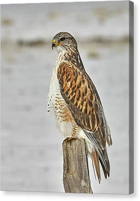 Ferruginous Hawk Canvas Print by Doug Herr