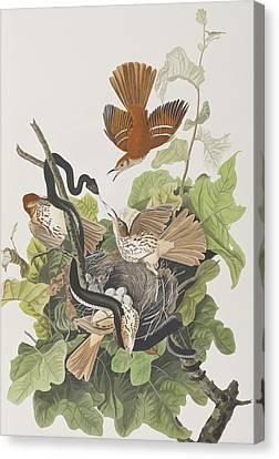 Ferruginous Thrush Canvas Print by John James Audubon