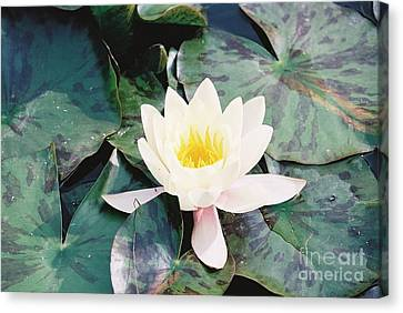Fine Art- Water Lily Canvas Print